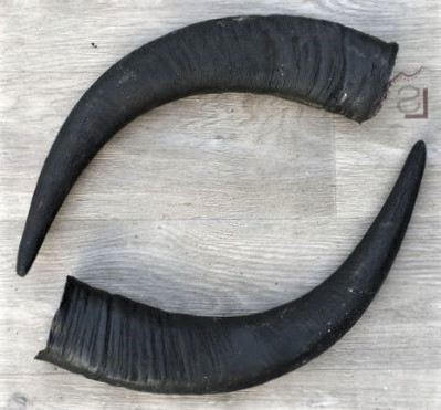 buffalo horn used for making Dhankute khukuri
