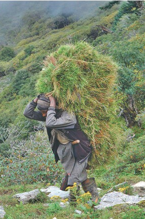 nepali-herdsman-gothala-carrying-grass